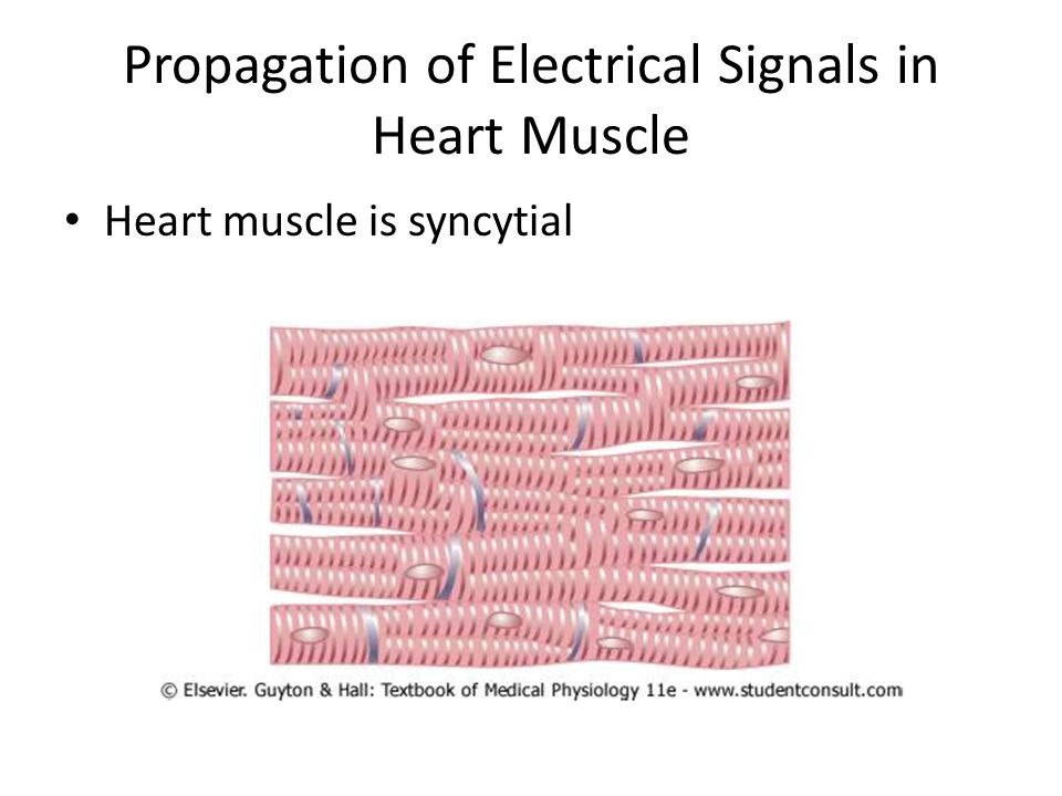 Propagation of Electrical Signals in Heart Muscle Heart muscle is syncytial
