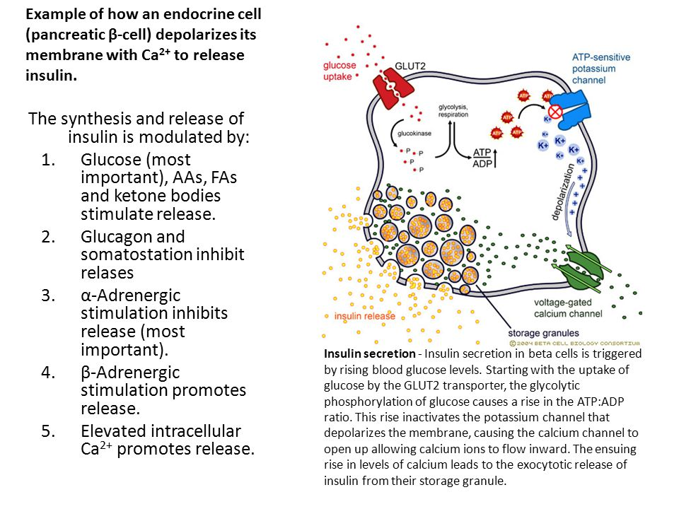 The synthesis and release of insulin is modulated by: 1.Glucose (most important), AAs, FAs and ketone bodies stimulate release. 2.Glucagon and somatos