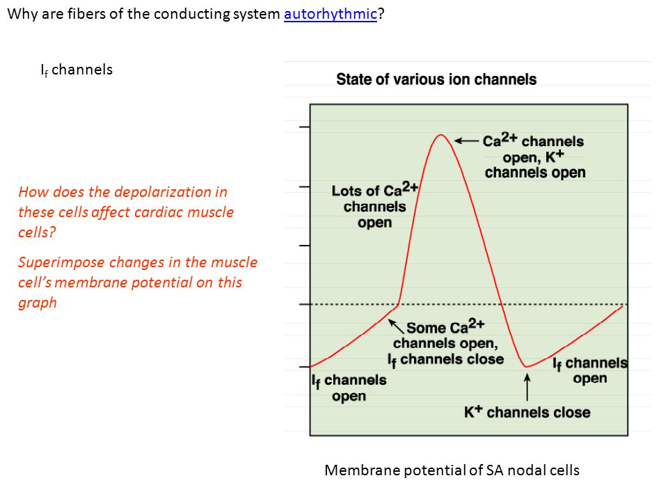 Ventricular AP Phase 4: resting membrane potential near the K + equilibrium potential.