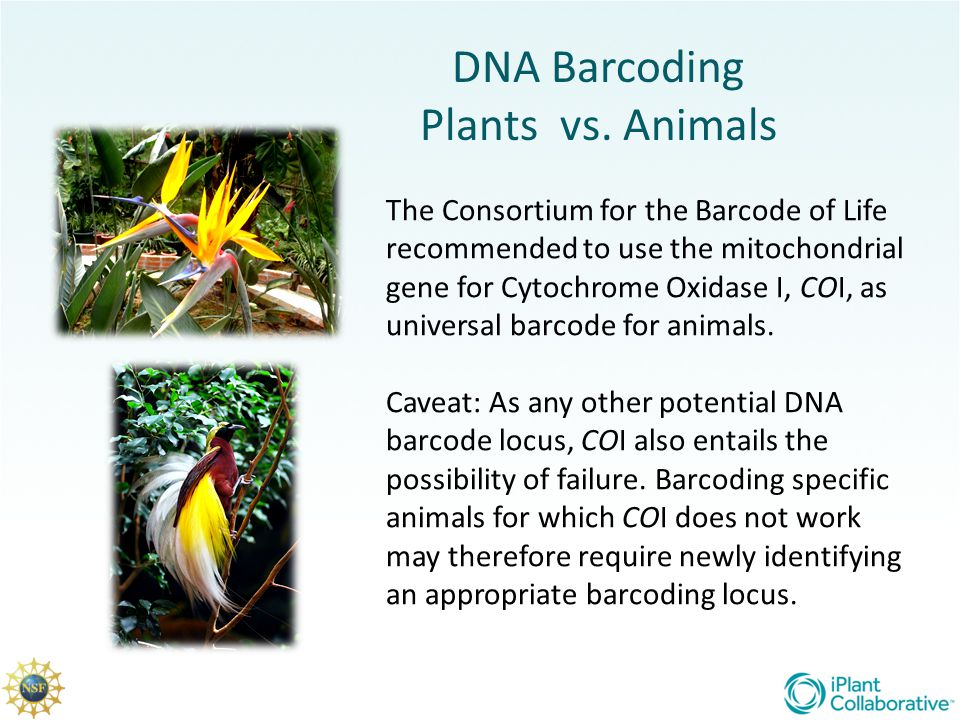 DNA Barcoding Plants vs. Animals The Consortium for the Barcode of Life recommended to use the mitochondrial gene for Cytochrome Oxidase I, COI, as un