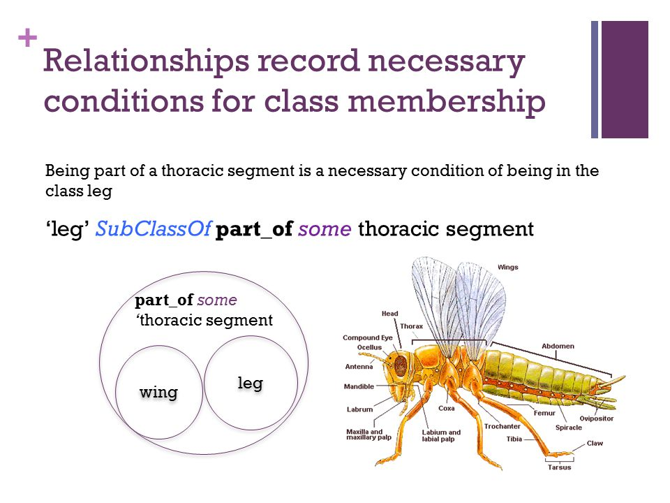 + Relationships record necessary conditions for class membership leg part_of some 'thoracic segment wing 'leg' SubClassOf part_of some thoracic segmen