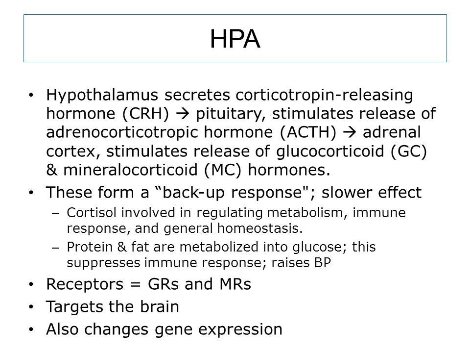 HPA Hypothalamus secretes corticotropin-releasing hormone (CRH)  pituitary, stimulates release of adrenocorticotropic hormone (ACTH)  adrenal cortex, stimulates release of glucocorticoid (GC) & mineralocorticoid (MC) hormones.