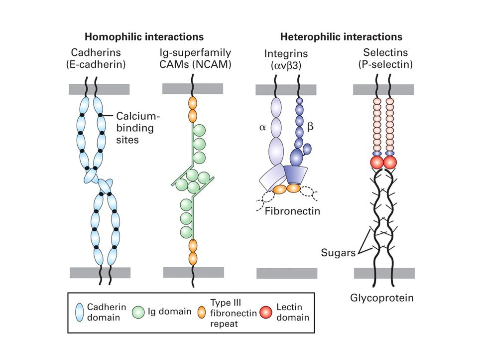 Tight cell–cell adhesions entail both cis (lateral or intracellular) oligomerization of CAMs and trans (intercellular) interaction of like (homophilic) or different (heterophilic) CAMs.