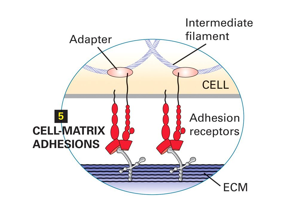 CAMs can be broadly distributed along the regions of plasma membranes that contact other cells or clustered in discrete patches or spots called cell junctions.