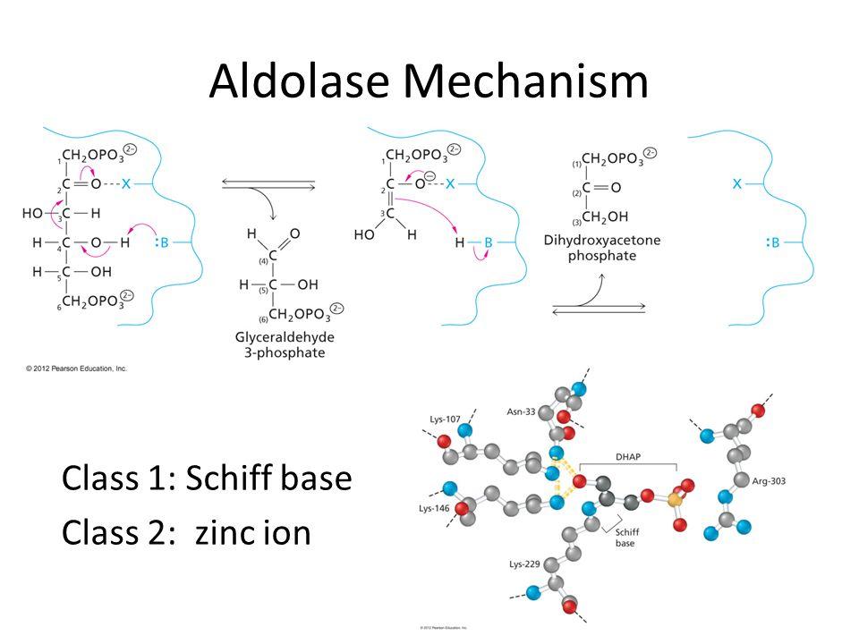 Aldolase Mechanism Class 1: Schiff base Class 2: zinc ion