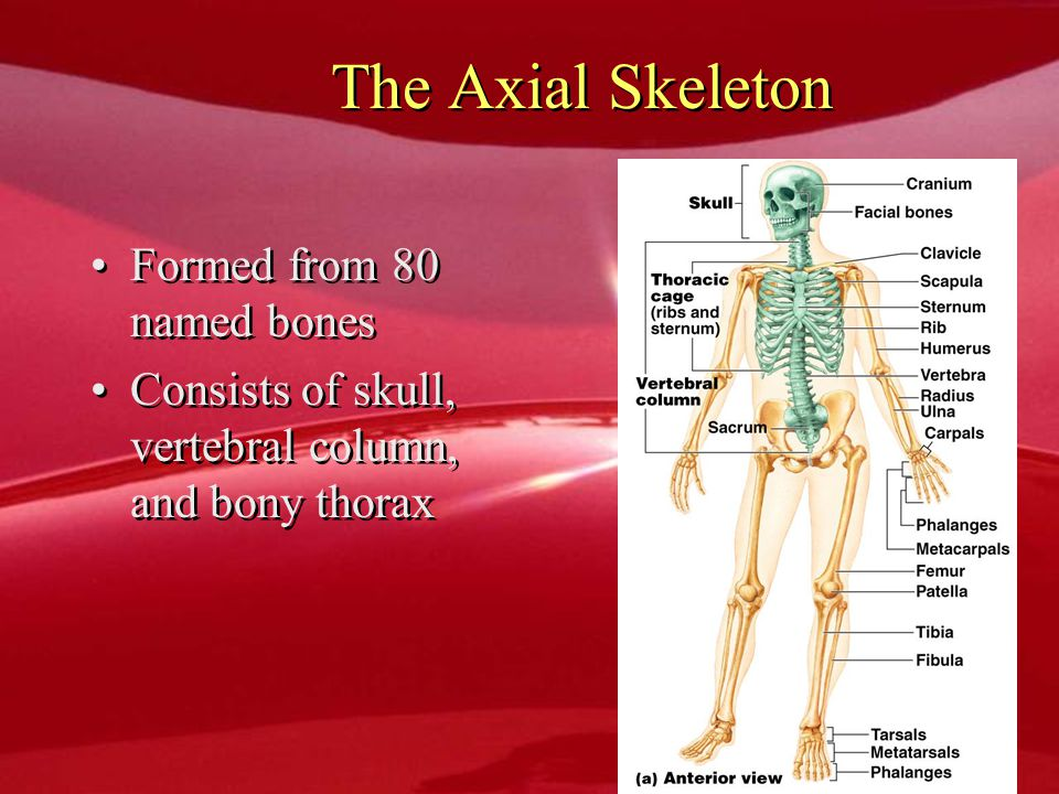 The Axial Skeleton Formed from 80 named bones Consists of skull, vertebral column, and bony thorax Formed from 80 named bones Consists of skull, verte