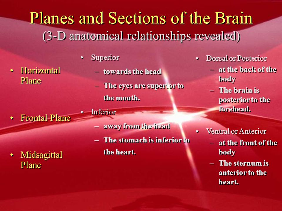 Planes and Sections of the Brain (3-D anatomical relationships revealed) Horizontal Plane Frontal Plane Midsagittal Plane Superior –towards the head –