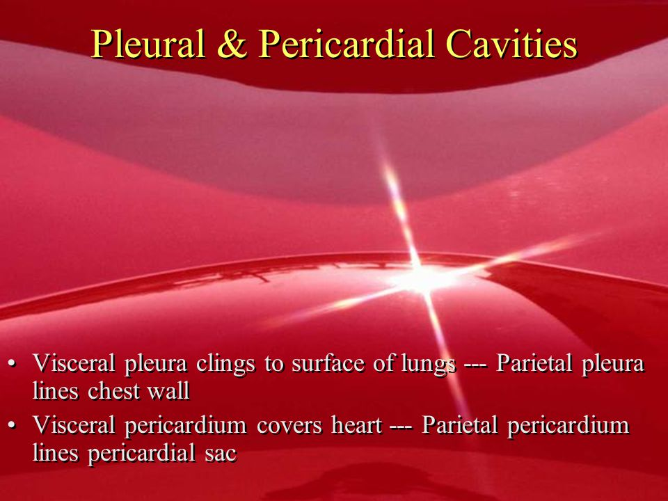 Pleural & Pericardial Cavities Visceral pleura clings to surface of lungs --- Parietal pleura lines chest wall Visceral pericardium covers heart --- P