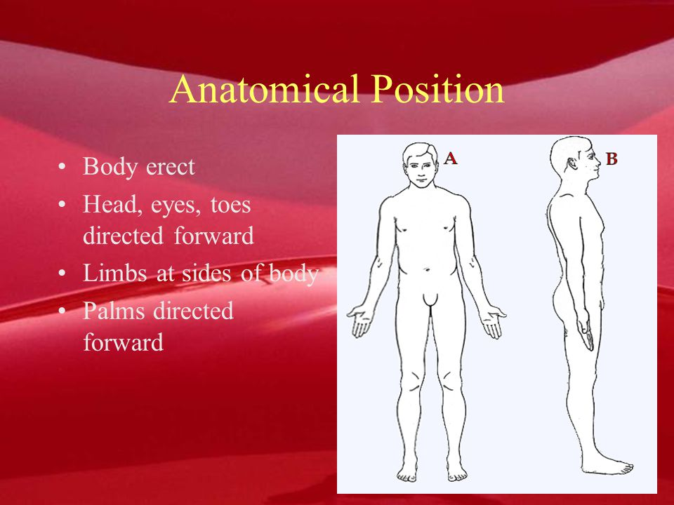 Anatomical Position Body erect Head, eyes, toes directed forward Limbs at sides of body Palms directed forward Body erect Head, eyes, toes directed fo