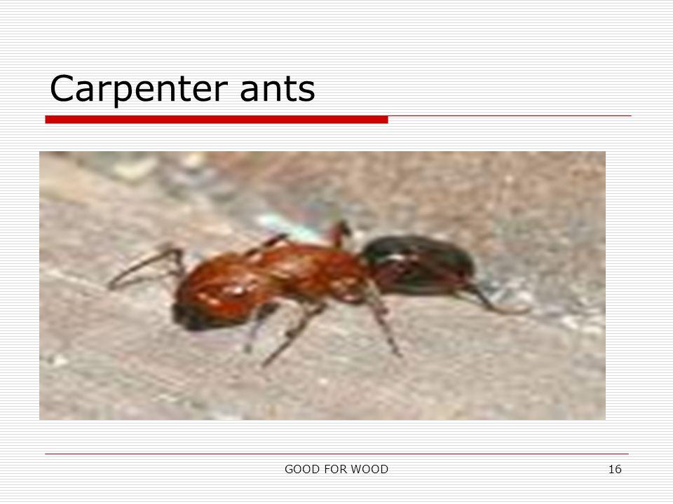 GOOD FOR WOOD16 Carpenter ants