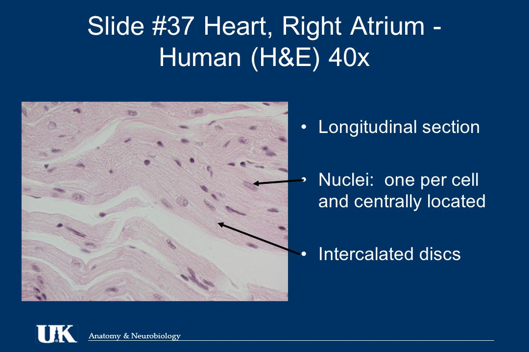 Anatomy & Neurobiology Slide #37 Heart, Right Atrium - Human (H&E) 40x Longitudinal section Nuclei: one per cell and centrally located Intercalated discs