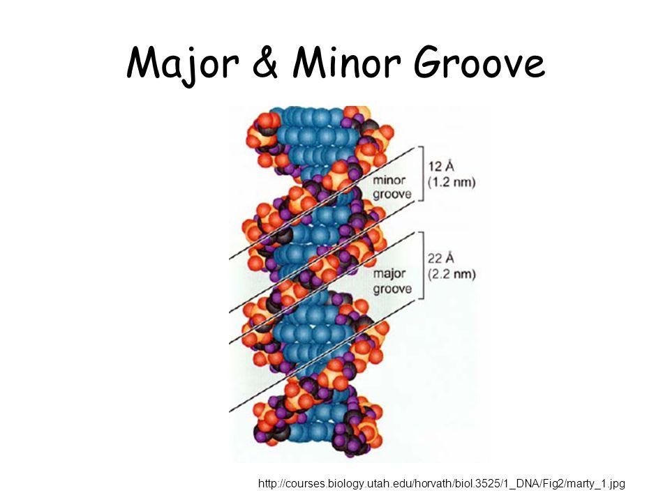 Major & Minor Groove http://courses.biology.utah.edu/horvath/biol.3525/1_DNA/Fig2/marty_1.jpg