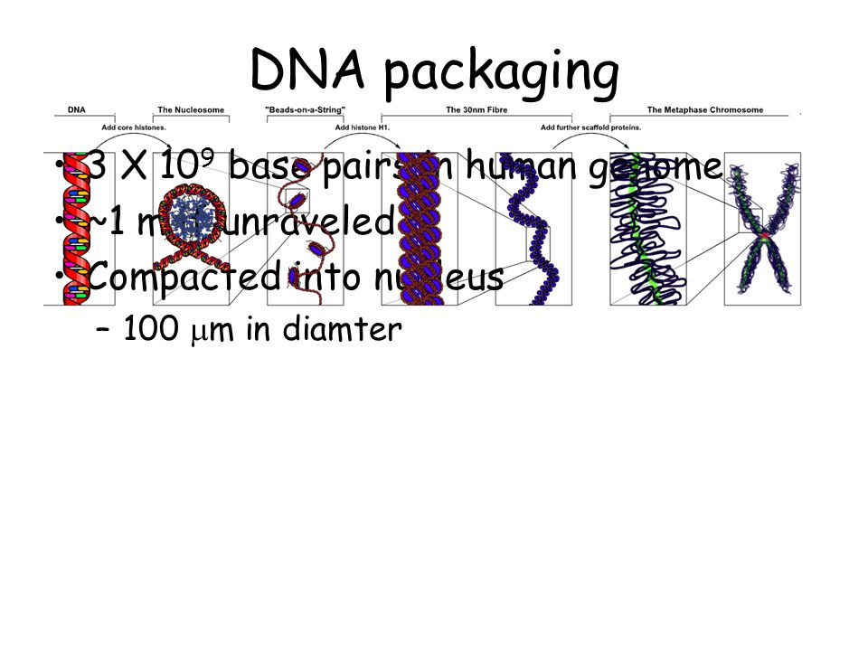 3 pN, we observe a similar coexistence of B-DNA and a new, highly twisted structure.
