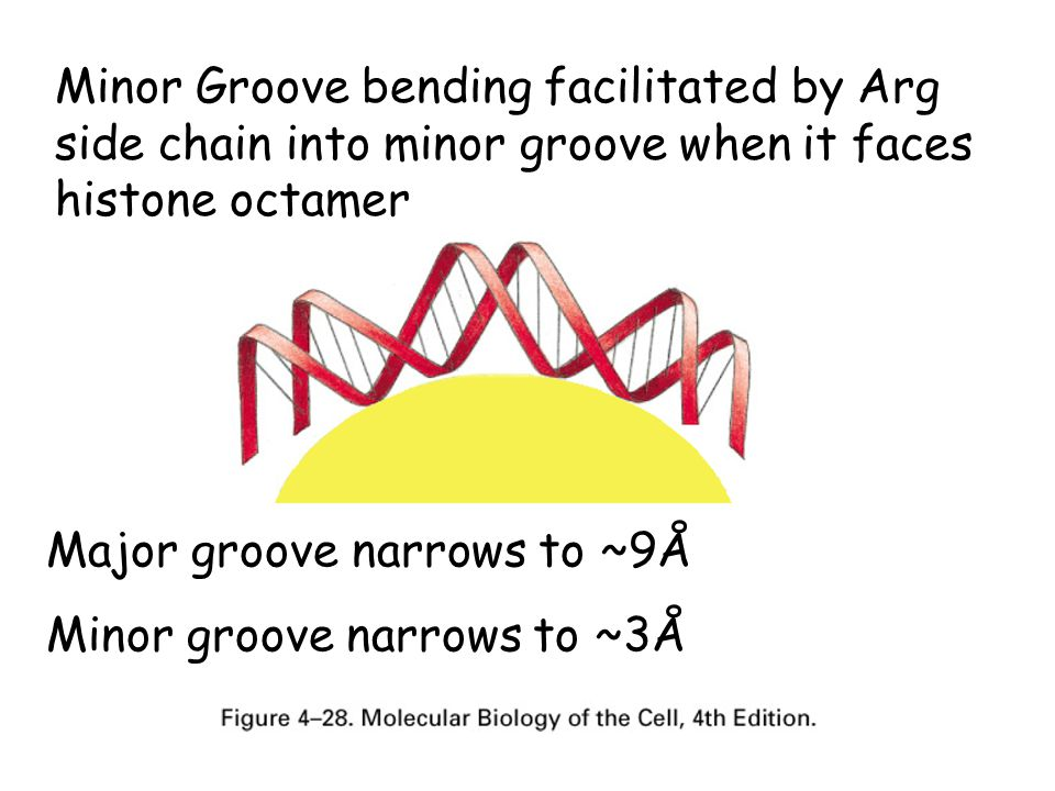 Minor Groove bending facilitated by Arg side chain into minor groove when it faces histone octamer Major groove narrows to ~9Å Minor groove narrows to ~3Å