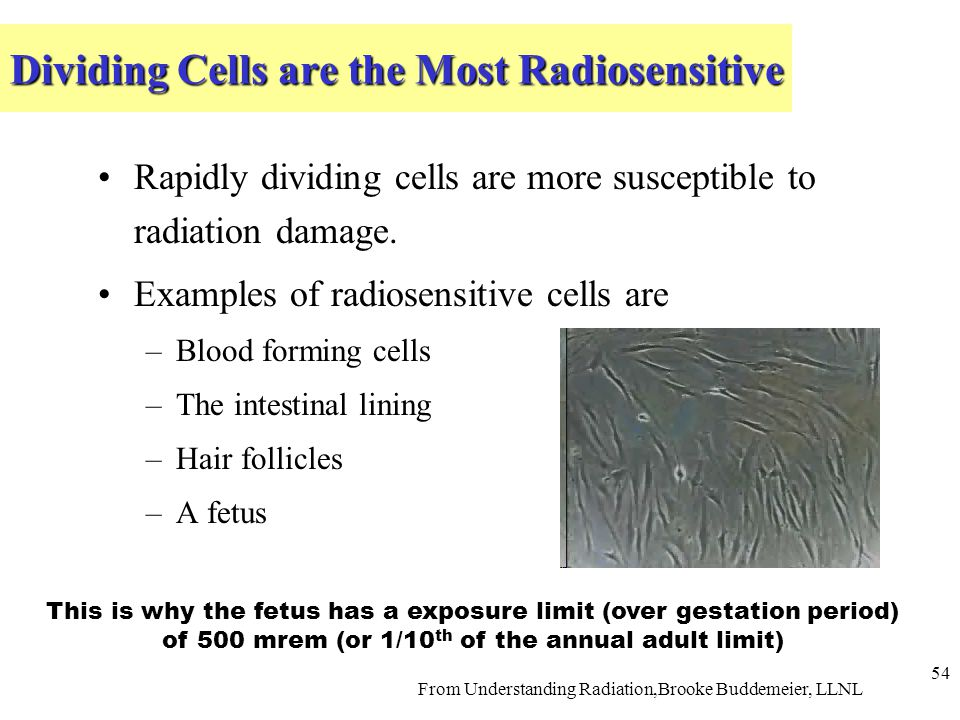 Dividing Cells are the Most Radiosensitive Rapidly dividing cells are more susceptible to radiation damage.