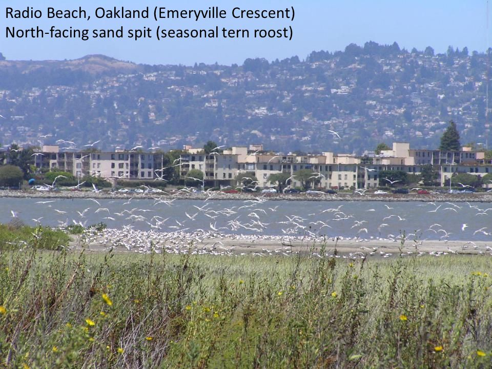 Radio Beach, Oakland (Emeryville Crescent) North-facing sand spit (seasonal tern roost)