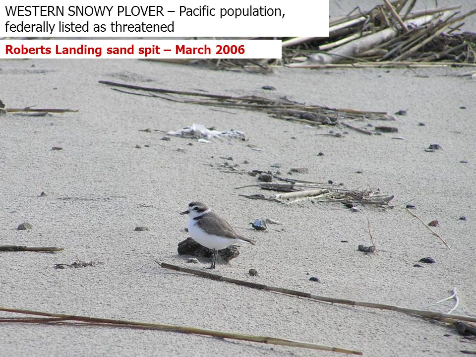 WESTERN SNOWY PLOVER – Pacific population, federally listed as threatened Roberts Landing sand spit – March 2006