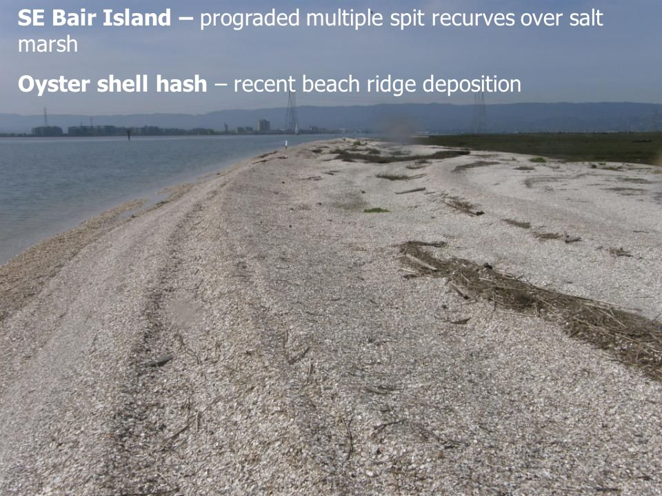 SE Bair Island – prograded multiple spit recurves over salt marsh Oyster shell hash – recent beach ridge deposition