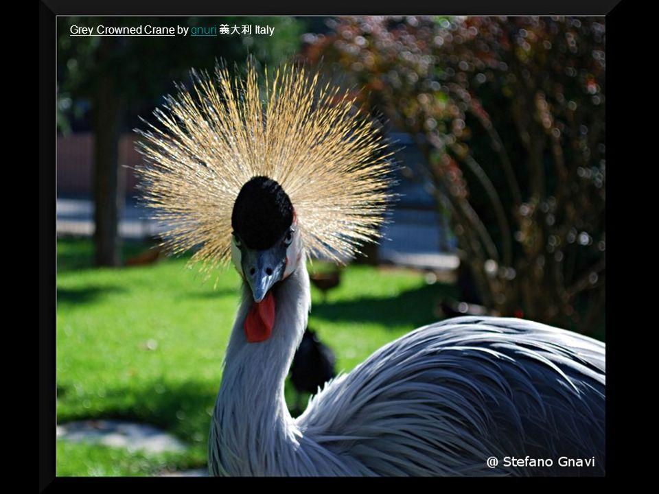 Grey Crowned Crane by gnuri 義大利 Italygnuri