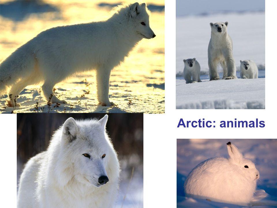 Arctic: animals