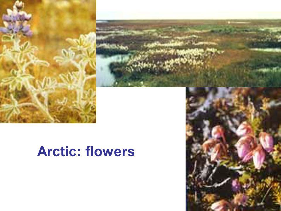 Arctic: flowers