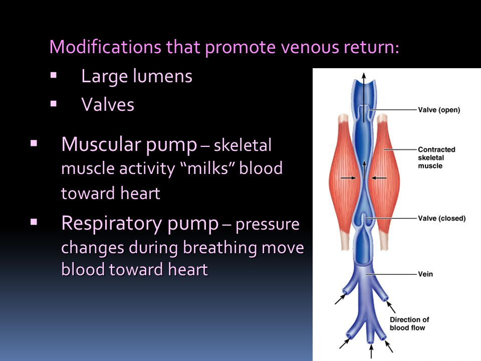 Modifications that promote venous return:  Large lumens  Valves  Muscular pump – skeletal muscle activity milks blood toward heart  Respiratory pump – pressure changes during breathing move blood toward heart