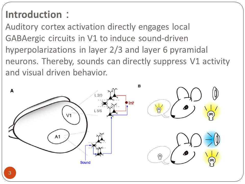 Introduction : Auditory cortex activation directly engages local GABAergic circuits in V1 to induce sound-driven hyperpolarizations in layer 2/3 and layer 6 pyramidal neurons.