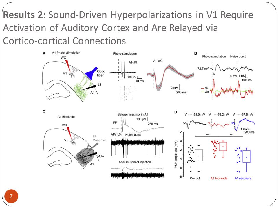 18 Result 6: Effects of Sound-Driven Hyperpolarizations on Electrophysiological and Behavioral Visual Responsiveness Acoustic Stimulation Reduced Synaptic Responses to Visual Stimuli