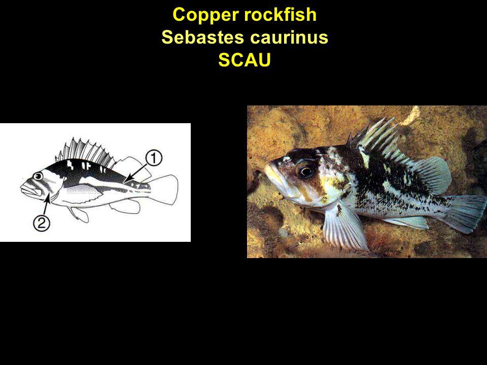 Copper rockfish Sebastes caurinus SCAU