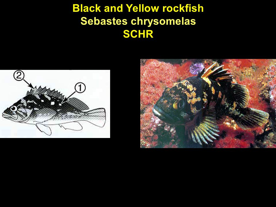 Black and Yellow rockfish Sebastes chrysomelas SCHR