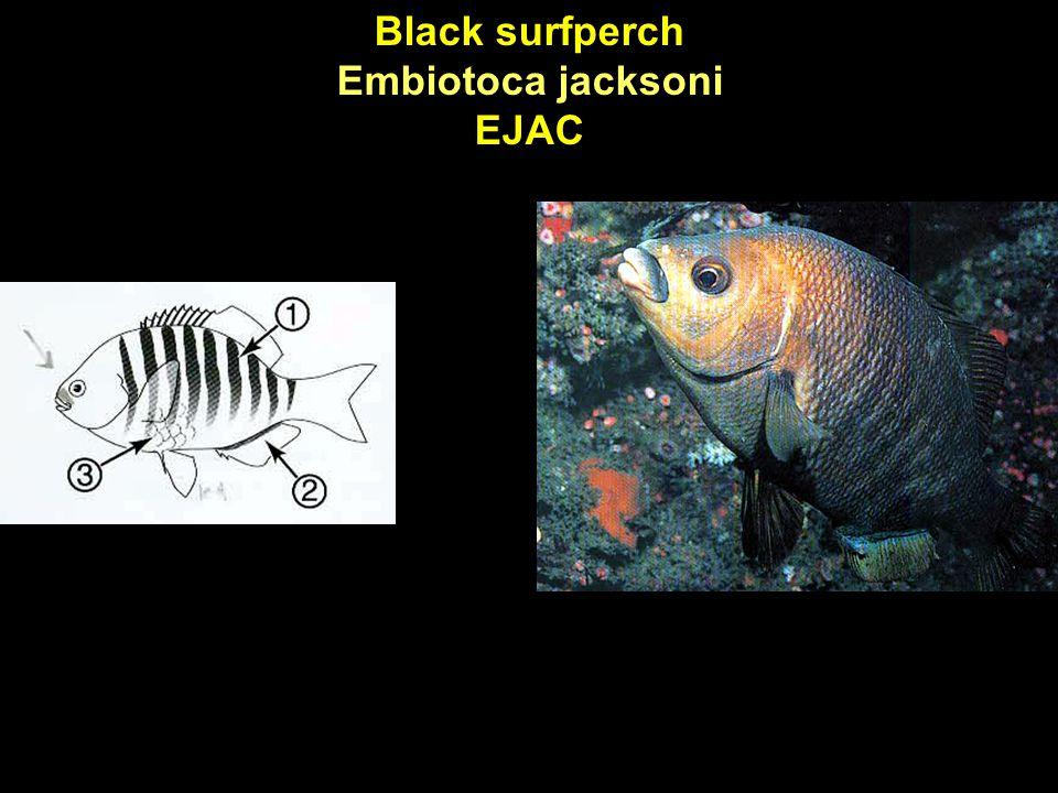 Black surfperch Embiotoca jacksoni EJAC