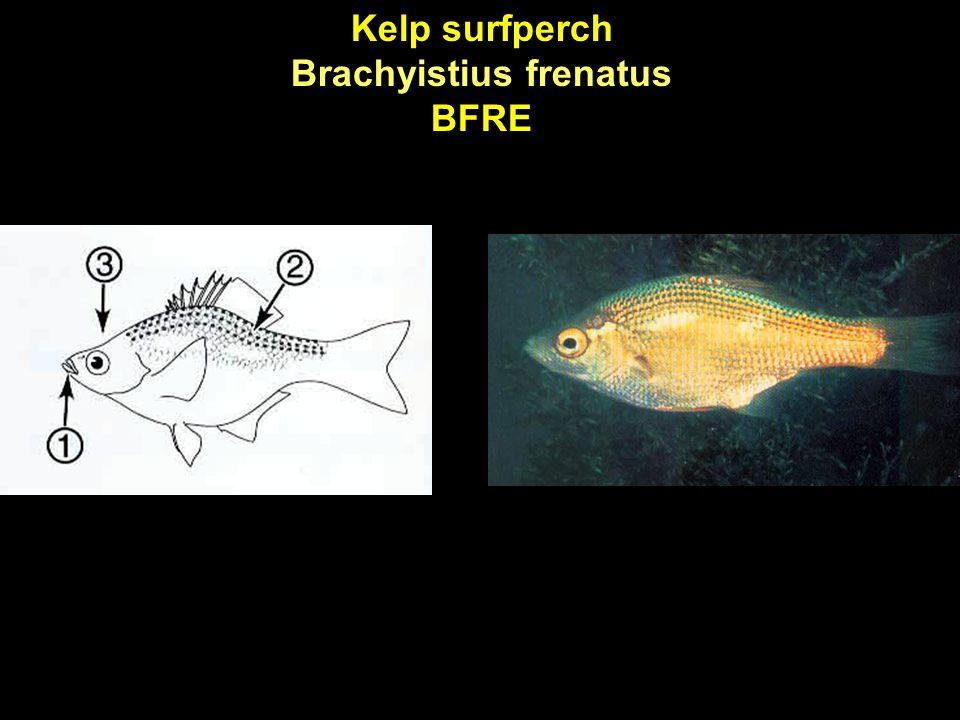 Kelp surfperch Brachyistius frenatus BFRE