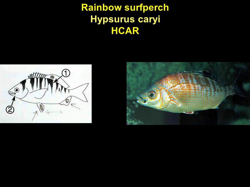 Rainbow surfperch Hypsurus caryi HCAR