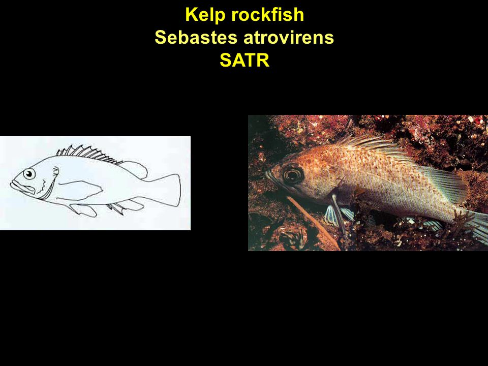 Kelp rockfish Sebastes atrovirens SATR