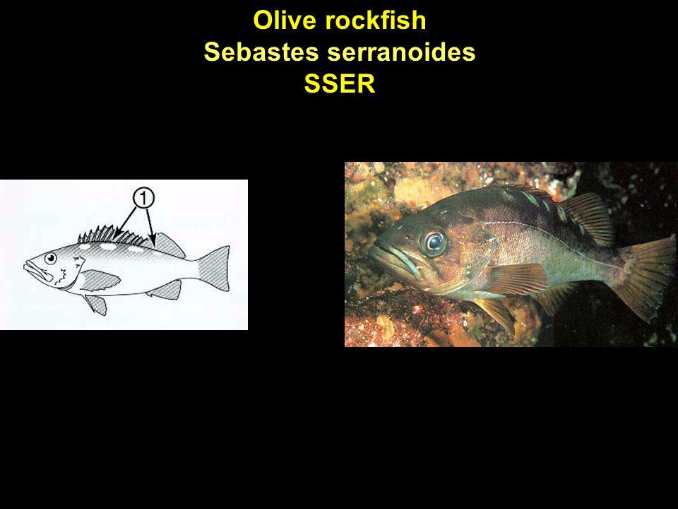 Olive rockfish Sebastes serranoides SSER