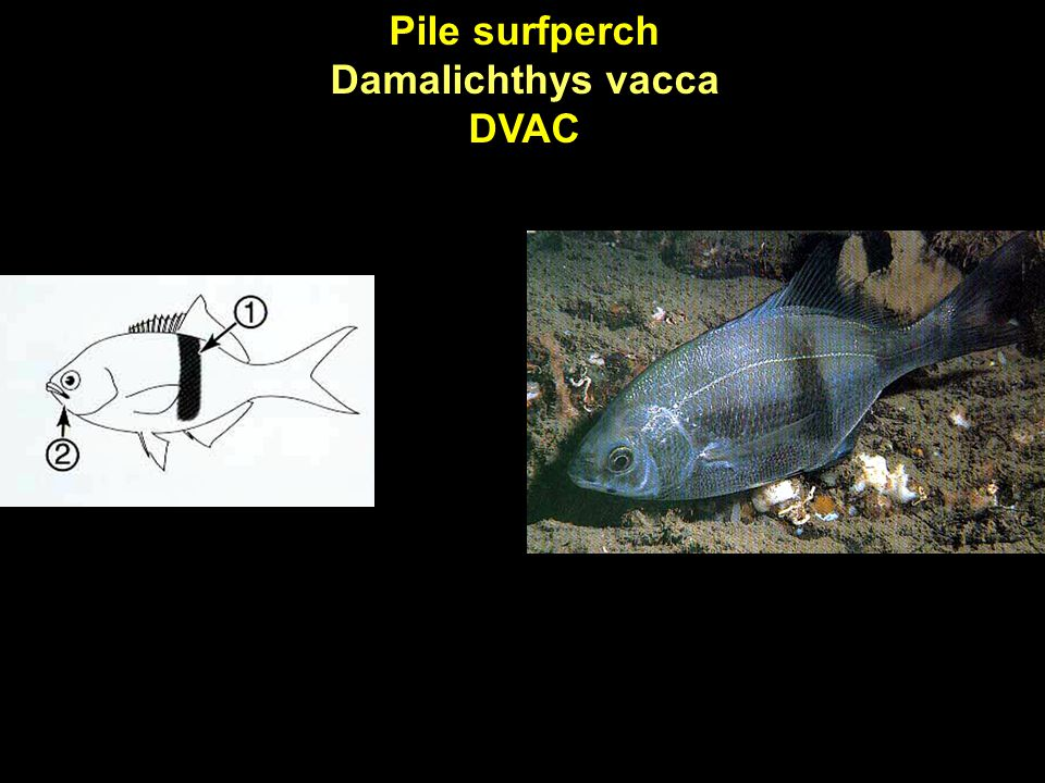 Pile surfperch Damalichthys vacca DVAC