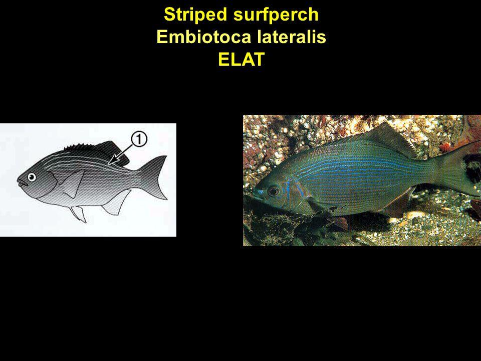 Striped surfperch Embiotoca lateralis ELAT