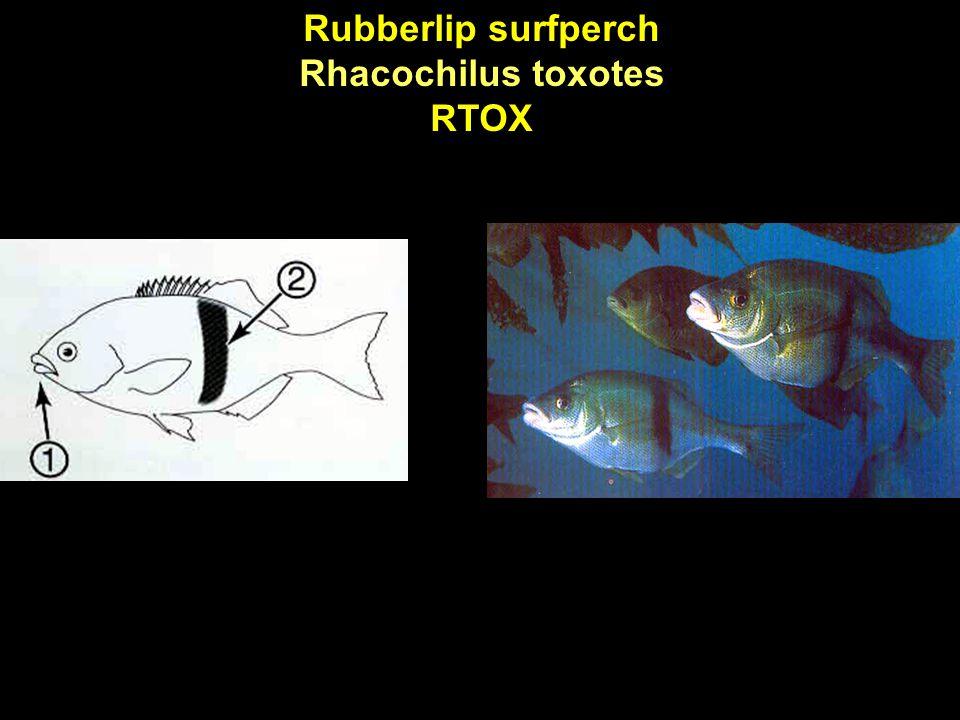 Rubberlip surfperch Rhacochilus toxotes RTOX