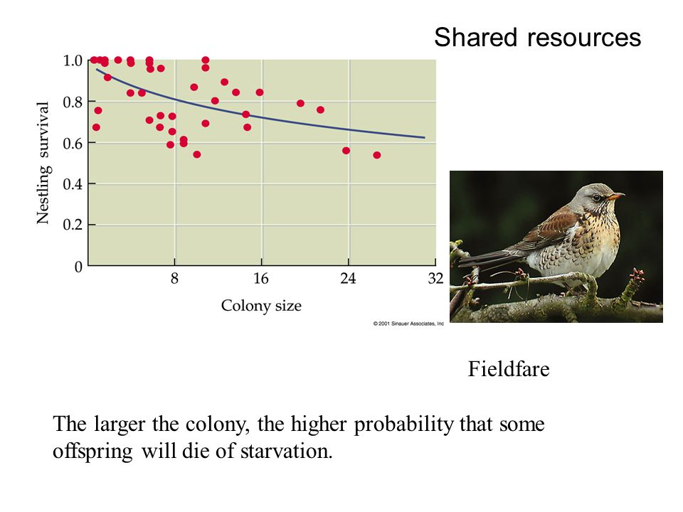 Fieldfare The larger the colony, the higher probability that some offspring will die of starvation. Shared resources