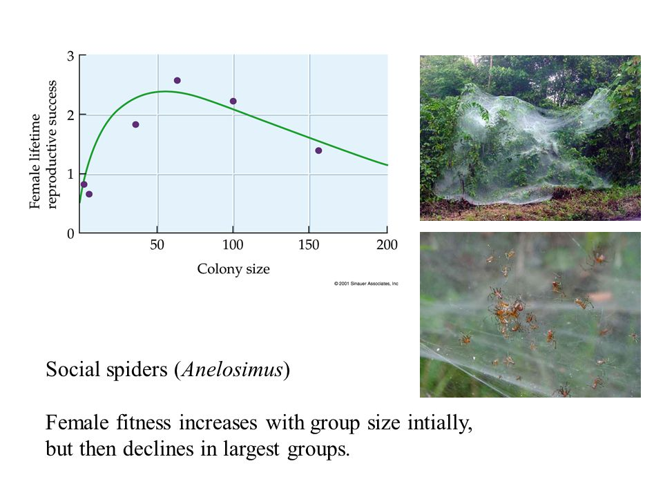 Social spiders (Anelosimus) Female fitness increases with group size intially, but then declines in largest groups.