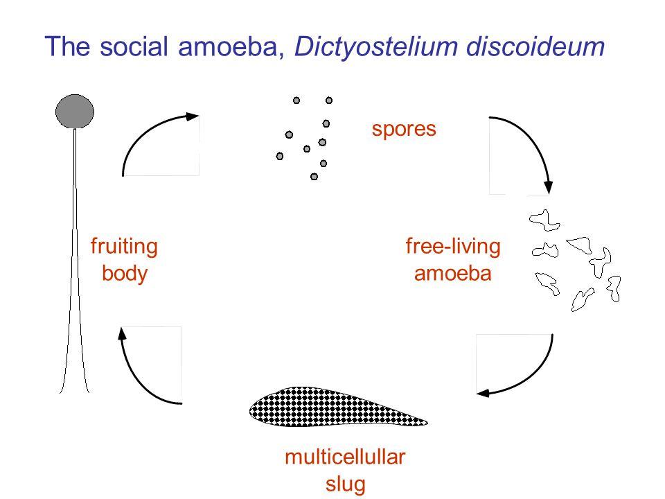 free-living amoeba multicellullar slug fruiting body spores The social amoeba, Dictyostelium discoideum