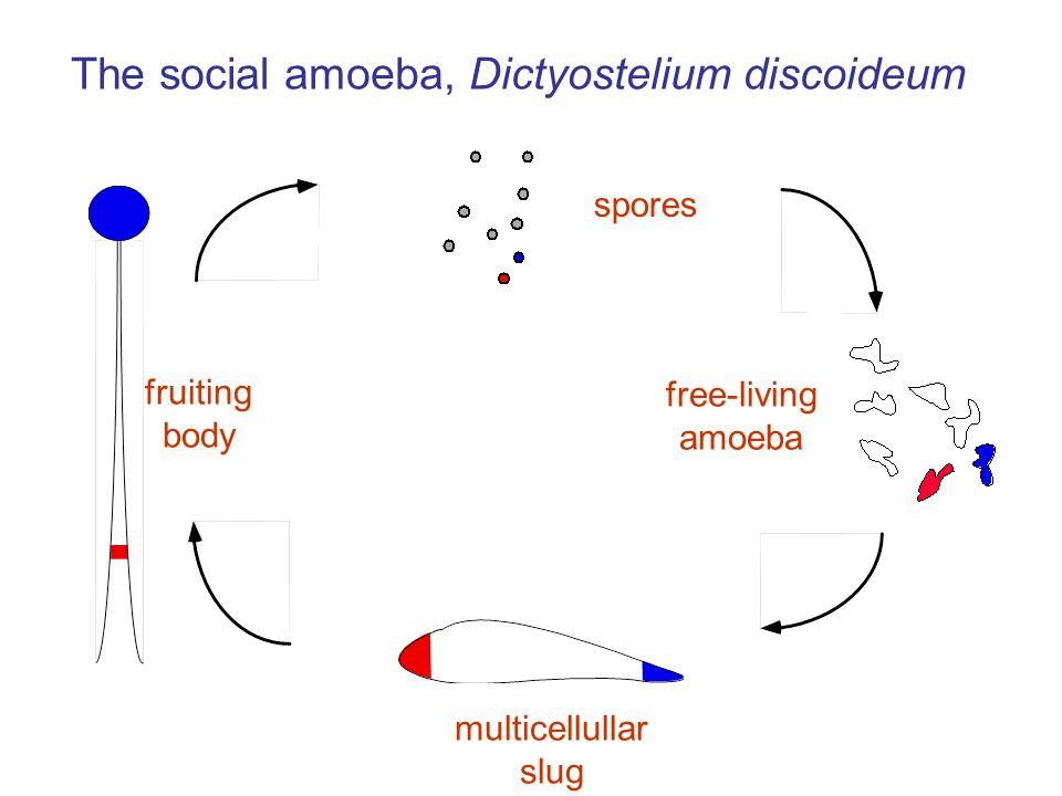 spores fruiting body free-living amoeba multicellullar slug