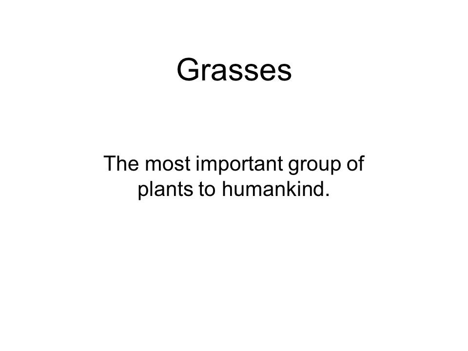 Grasses The most important group of plants to humankind.