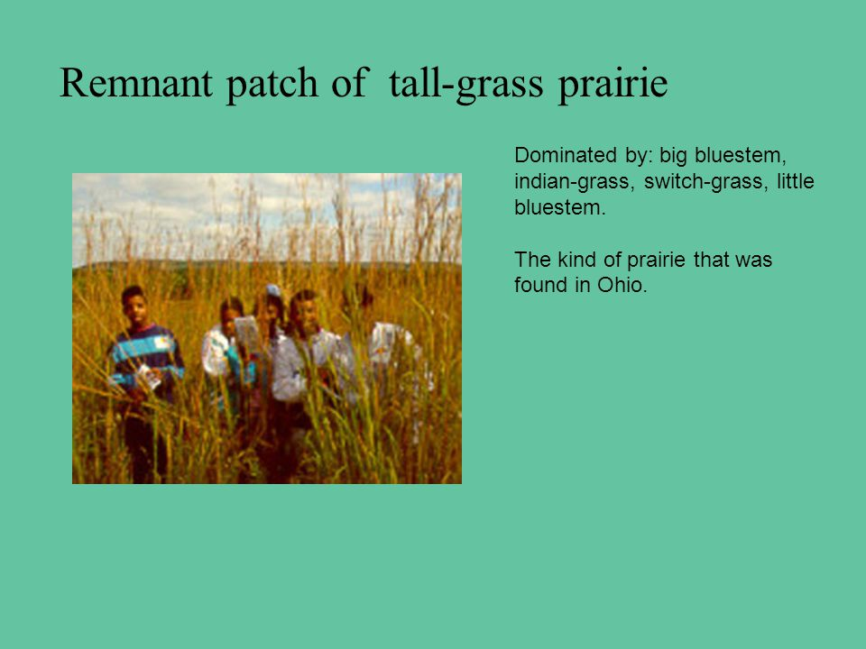Remnant patch of tall-grass prairie Dominated by: big bluestem, indian-grass, switch-grass, little bluestem.