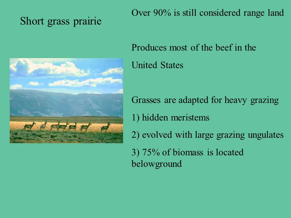 Short grass prairie Over 90% is still considered range land Produces most of the beef in the United States Grasses are adapted for heavy grazing 1) hidden meristems 2) evolved with large grazing ungulates 3) 75% of biomass is located belowground