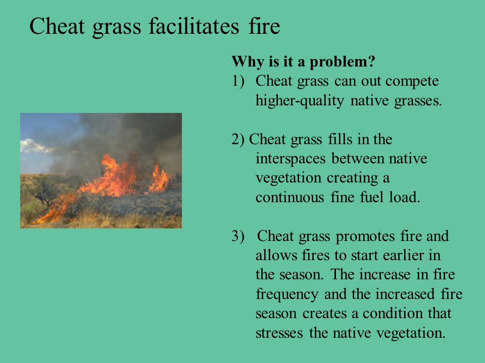 Cheat grass facilitates fire Why is it a problem.