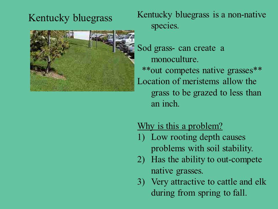 Kentucky bluegrass Kentucky bluegrass is a non-native species.