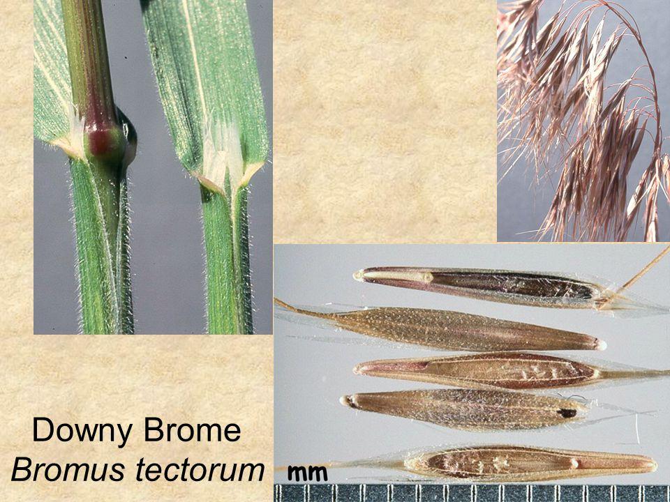 Downy Brome Bromus tectorum