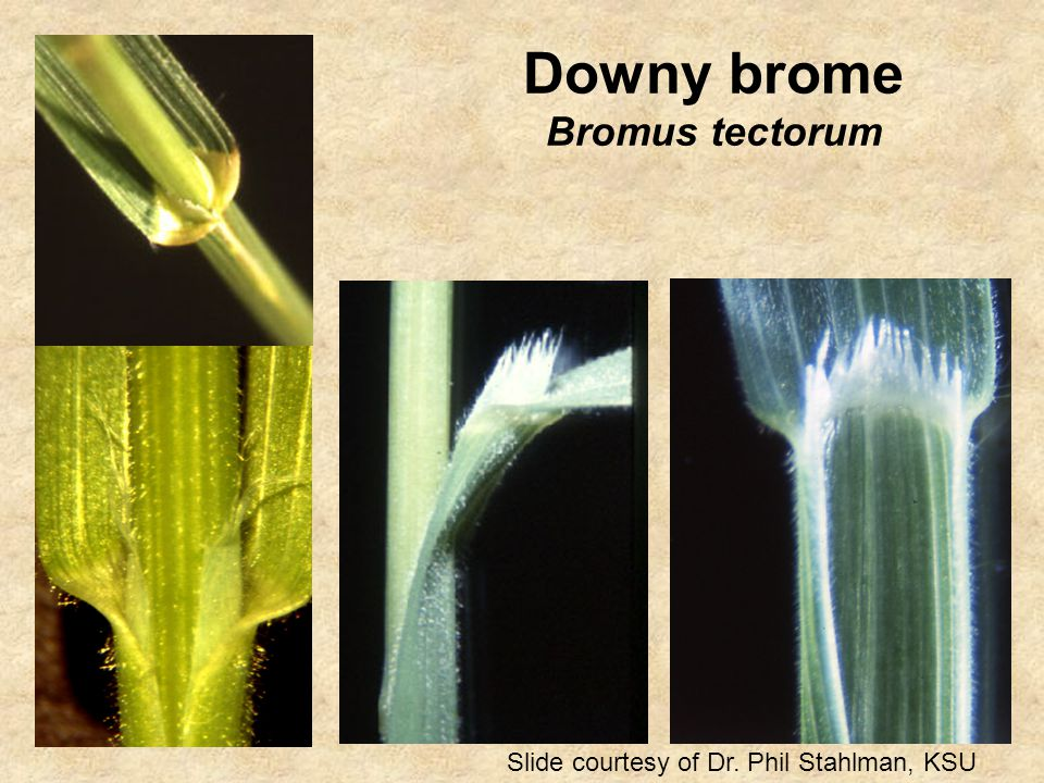 Downy brome Bromus tectorum Slide courtesy of Dr. Phil Stahlman, KSU