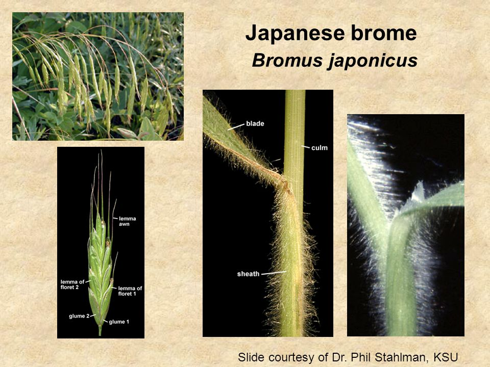 Japanese brome Bromus japonicus Slide courtesy of Dr. Phil Stahlman, KSU
